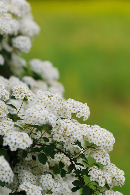 溢れ出る白い花