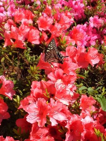 アゲハ蝶は食事中