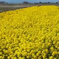 写真: 食用菜の花