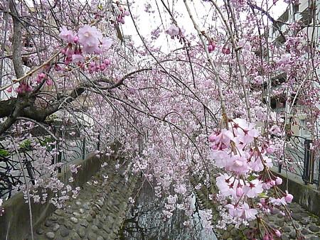 桜・サクラ・Sakura