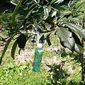 Photos: びわの枝の誘引