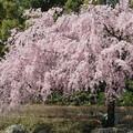 写真: 20140402白鳥庭園?