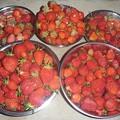 写真: 150523イチゴ収穫