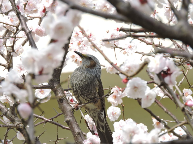 Photos: 白梅とヒヨドリ