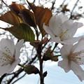 桜咲いた-3