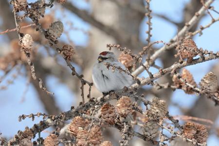 コベニヒワ =成鳥メスか、未成鳥オスか、未成鳥メス
