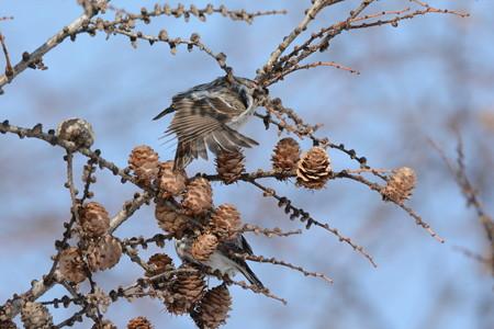 コベニヒワ 成鳥メスか、未成鳥オスか未成鳥メスの伸び