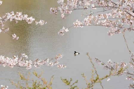 桜とキンクロハジロ 雄