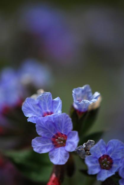 Pulmonaria Bleu