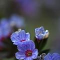 Photos: Pulmonaria Bleu