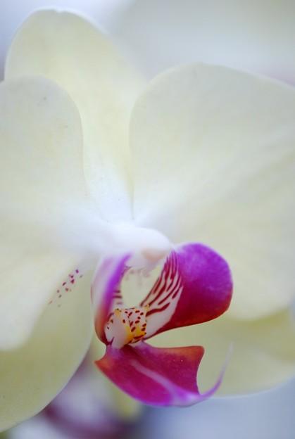 Moth Orchid 3-8-15