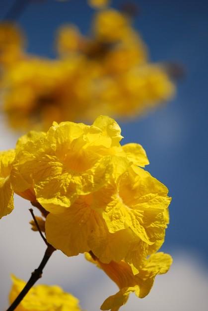 Golden Trumpet Tree 3-11-15