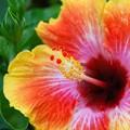 Hibiscus 3-11-15
