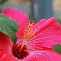 Photos: Pink Hibiscus 3-11-15