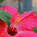 Pink Hibiscus 3-11-15