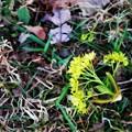 Fallen Norway Maple Flowers 5-6-15