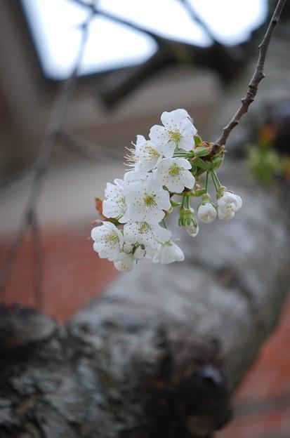 Photos: Wild Cherry I 5-9-15