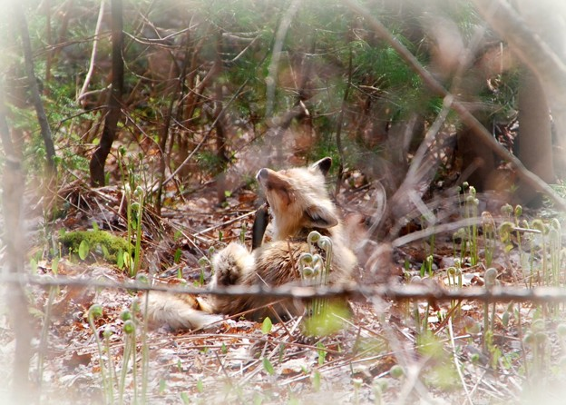 Fox Itching 5-9-15