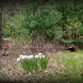 Daffodils in the Woods 5-8-15