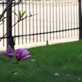 Magnolia 'Susan' 5-13-15