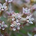 Photos: Milkweed