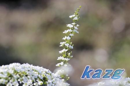 ユキヤナギの白い花