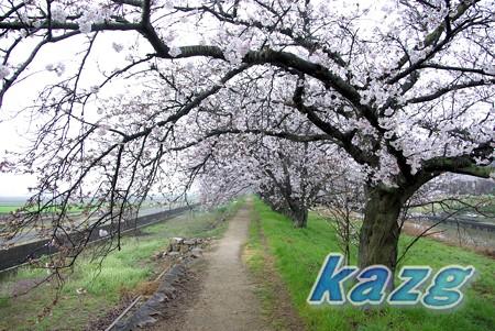 春雨に煙る桜並木の散歩道