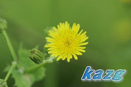 ハルノノゲシの花