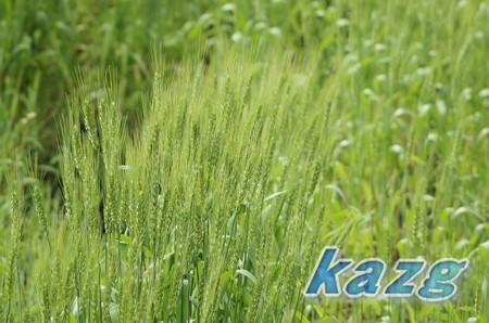 薫風にそよぐ麦の穂波