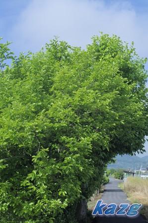 5月の通学路の柿の葉