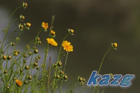 オオキンケイギク(大金鶏菊)の群生