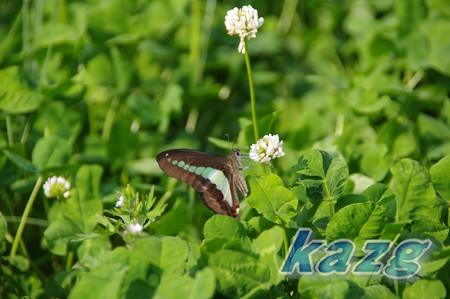 シロツメグサの花に止まるアオスジアゲハ