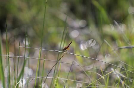 ヒイゴ池のハッチョウトンボ