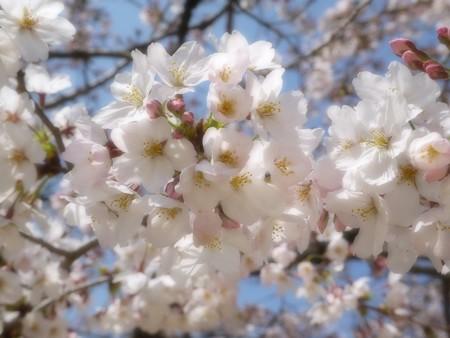 夙川桜 (5)