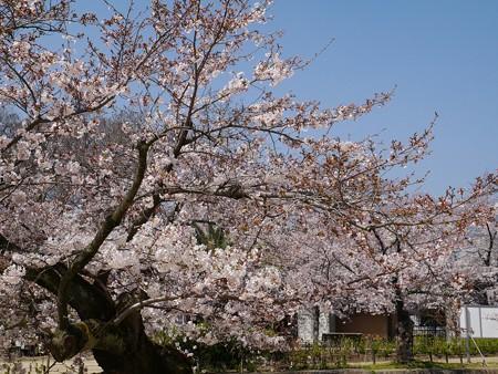 夙川桜 (6)