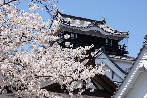 写真: 天守と桜