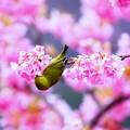 写真: mejiro in Spring