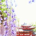 Photos: 平等院と藤