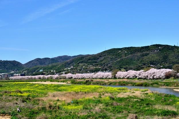 Photos: 2015_0404_105257_八幡背割堤の桜並木
