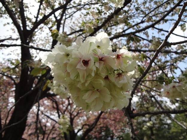 皇居外苑の八重桜08