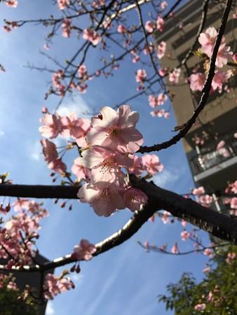 近所の河津桜02