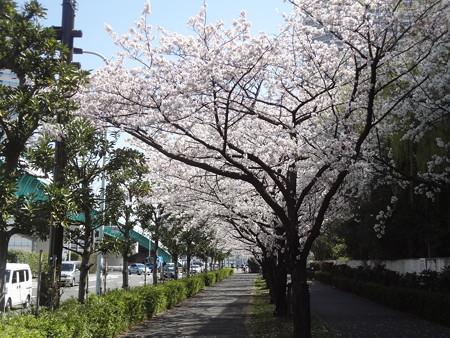 帰り道の桜並木01