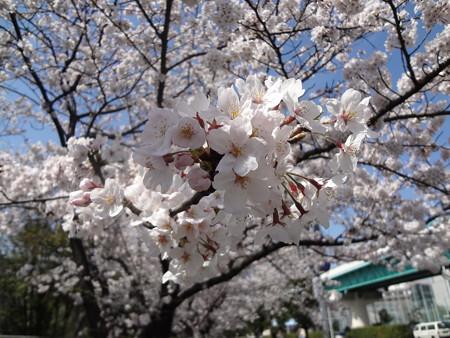 帰り道の桜並木02