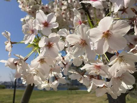 近所の桜07