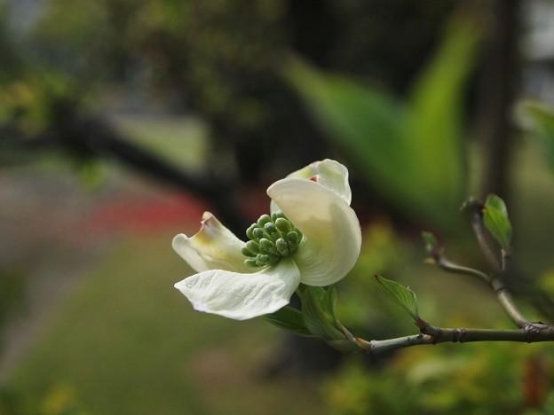 P4163006花水木 白