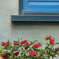 Photos: 青い窓に赤い薔薇