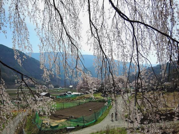 薬師堂の枝垂桜#2