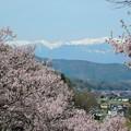 Photos: 桜と中央アルプス