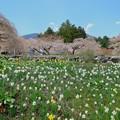 Photos: 水仙と枝垂れ桜