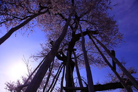 樹齢1200年の色合い